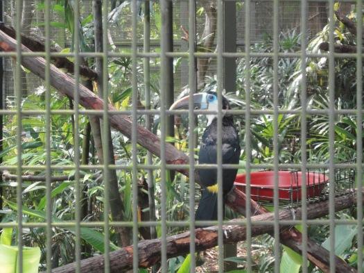 真正熱帶的鳥。這種大嘴鳥在 Bird Park裡大概有一百隻