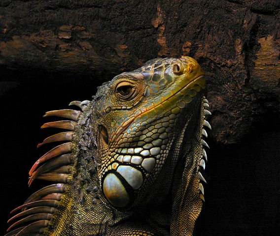 568px-Portrait_of_an_Iguana