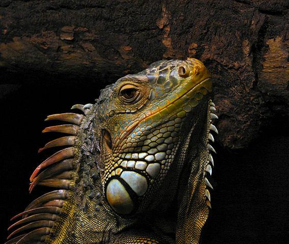 568px-Portrait_of_an_Iguana