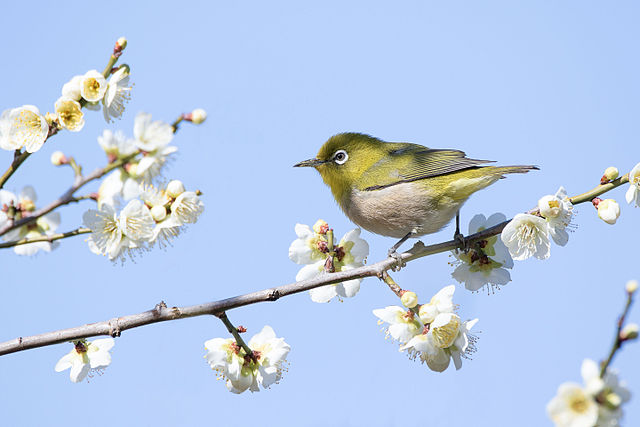 Japanese_white-eye_in_Sakai,_Osaka,_February_2016.jpg